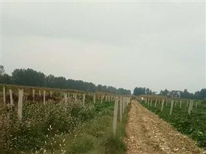 去年种的葡萄树,都死了。不干了水泥杆不用了,有需要的请联系