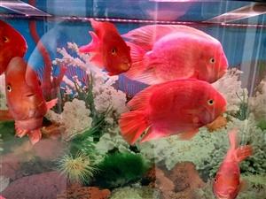 自家养的鱼,由于搬迁外地,故转让,最大长24厘米