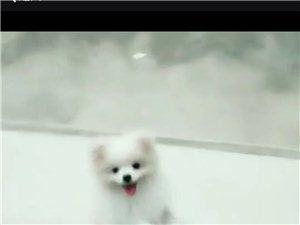 重金寻狗一只白色博美丢失于东霍山