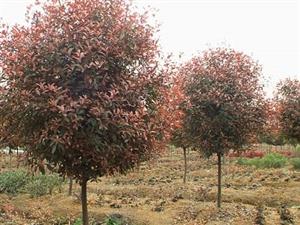 红叶石楠苗出售