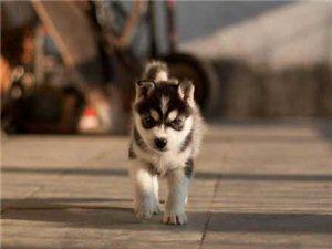 長期出售寵物狗狗