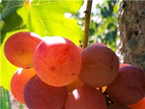 新疆葡萄有点甜
