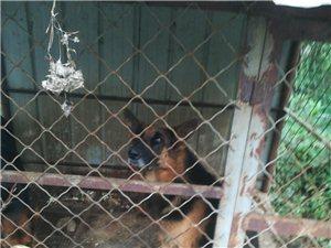 出售牧羊犬一只成年狗,红狼一只成年狗()