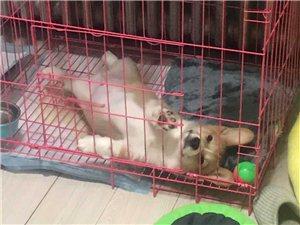 柯基小公狗快一岁了
