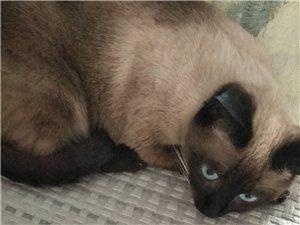 想找个种猫,最好也是暹罗猫