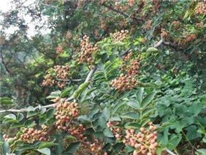 優質花椒樹苗