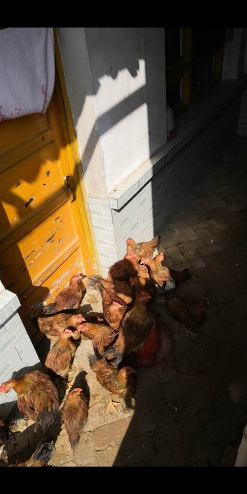 本人有纯家养鸡,大概八十只左右,平均每只三斤重。因为鸡圈地方窄小,所以无法饲养,现对外澳门银河网站,若有意者...