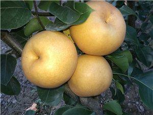 自種黃晶梨