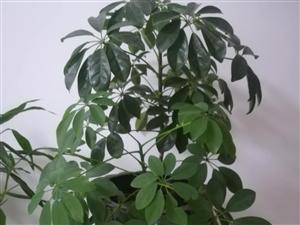 八方来财盆栽花卉 15O46432996