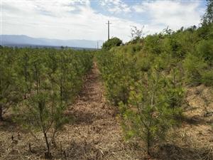 本人出售15亩白皮松连地一起,有15年合同,60公分起2000棵,1米起2500棵,1.5米左右18...