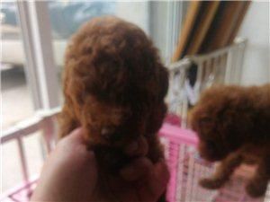 泰迪幼犬出售