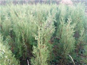 2米高的側柏樹苗4000棵