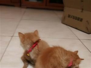 可爱的橘黄色的猫咪,有3个多月,比较乖,不随地大小便。因为家里有三只猫咪,有点多,所以有需要猫咪的朋...