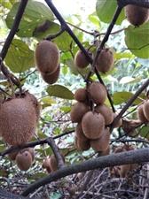 野生猕猴桃,纯野生,5元1斤,味道正,酿酒安逸。