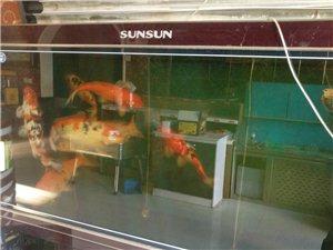 森森1.8米鱼缸,锦鲤三斤左右出卖联系电话13766539992