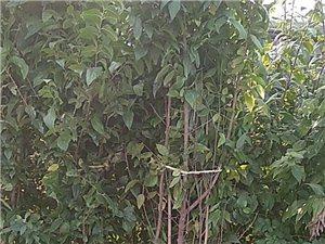 大量供應綠化苗木