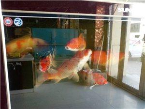 森森鱼缸,锦鲤出卖,联系电话13766539992