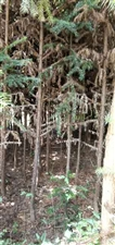 本来急需用钱转让一片山树,面积约40亩,有山树5000棵自己种的己有13年,转让期现30年价格面谈,...