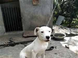 出售�廴�,大�^版,是只母狗,5��月大了,可看家�o院