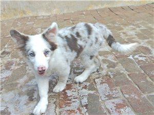 专业繁殖边境牧羊犬,出售边牧宝宝。