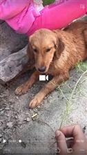 寻找在库庄乡政府附近丢失的金毛