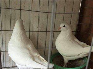 威尼斯人注册鸽子