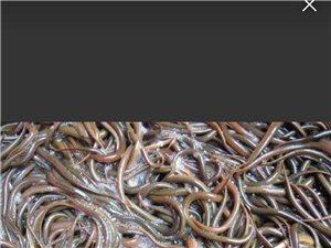 有鮮活泥鰍