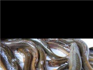 瓜州鮮活泥鰍