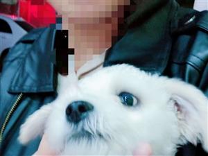 泰迪  三個多月  因為個人原因  想把狗狗賣了