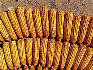 玉米品种鹏玉17,您无悔的选择