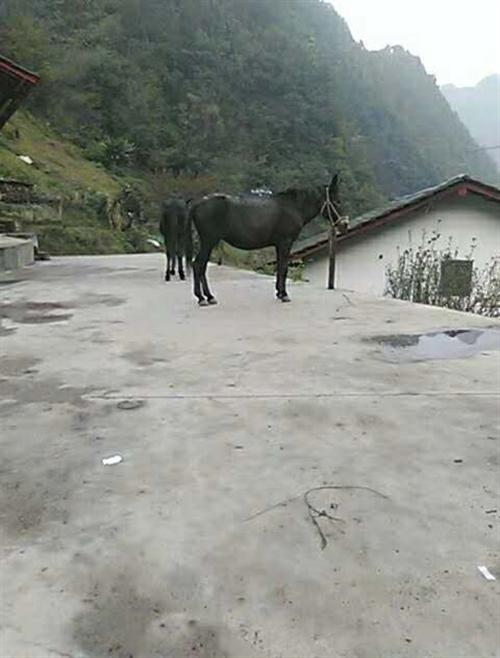 本人现有骡马出售,有需要的老板可以电话联系  15929583663