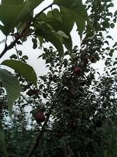 本人在泸沽湖雪地落有一块果园二十亩,五年的树龄,明年就大量投产了,苹果是中秋王品种,没有精力管理现在...