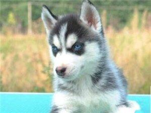 因家里有事,出售母狗灰色哈士奇一只