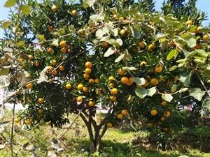 水果新品种桔橙!好吃不酸!