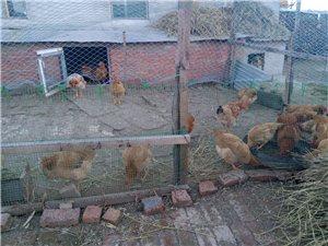 散养鸡出售
