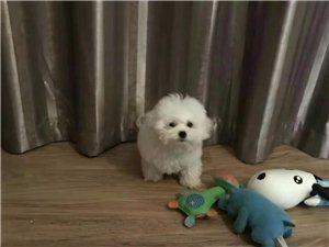 【寻狗】名字叫皮球,全白色,请有看到这只狗的朋友联系我。