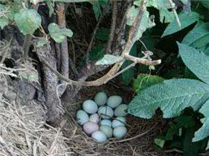 绿壳受精蛋