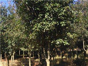 风景绿化树