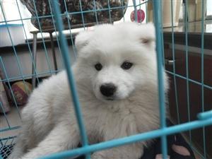 正宗萨摩耶宠物犬(2月大),长得心疼得很,因家中无人照顾,想出让带犬笼,价格面议,联系电话15097...