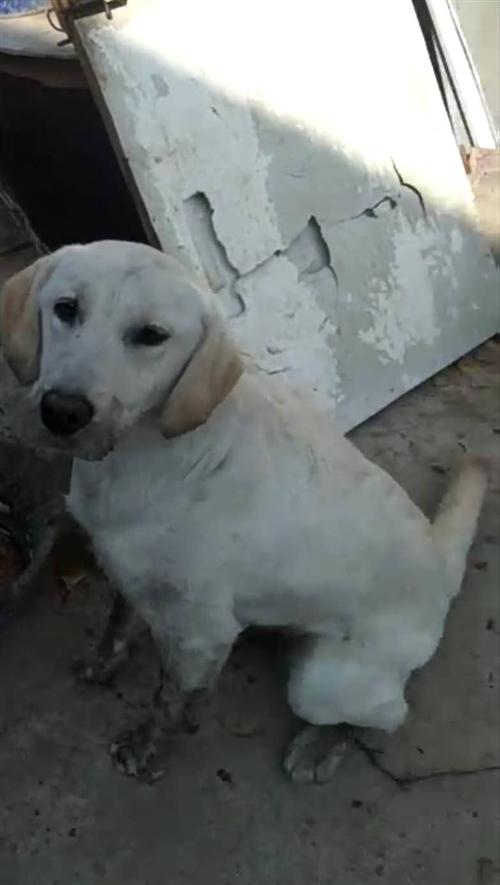 拉布拉多出售  因无暇照顾现出售爱犬,希望爱狗人士购买   ...