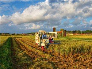 龙寿洋村民开始收割水稻种草莓
