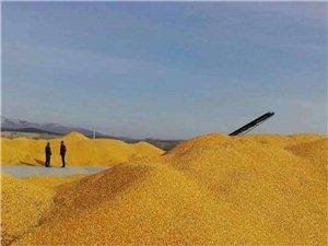 批发零售东北玉米