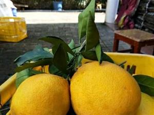 赣南脐橙新鲜采摘