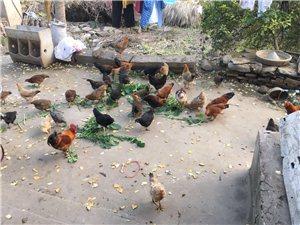 农家土鸡出售