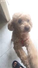 寻狗启事:本人在19号晚上丢失一条泰迪犬,对我很重要。