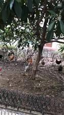 电力新村小区养鸡问题