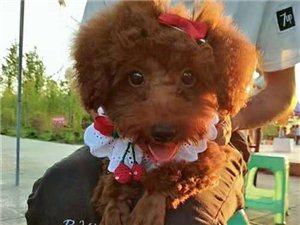 卖泰迪狗狗