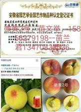 出售桃苗新品种