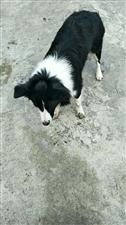 寻狗启示:名字叫妮妮,今年一岁多喜欢玩球,如有看到请联系我!