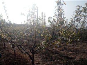 有五亩梨树园对外承包